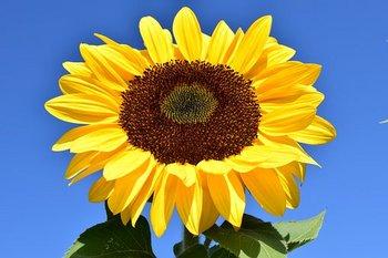 sun-flower-1627179__340.jpg
